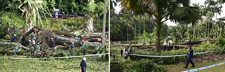 Figure 1 Singapore Botanical Garden accident caused by tree failure_